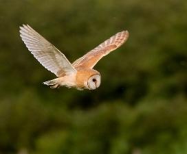 Barn Owl capture, © R Holbrook